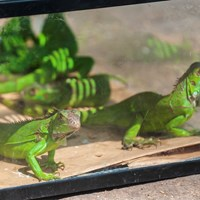Green Lizards for Sale